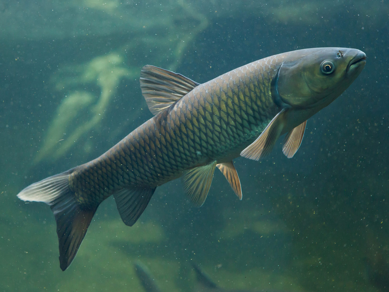 Home to restore new zealand valuable waterways for White amur fish